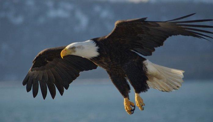 Eagle, 12